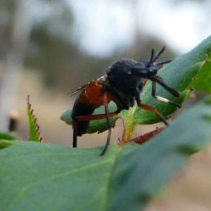 Therevidae sp. (family) at Duffy, ACT - 13 Oct 2019