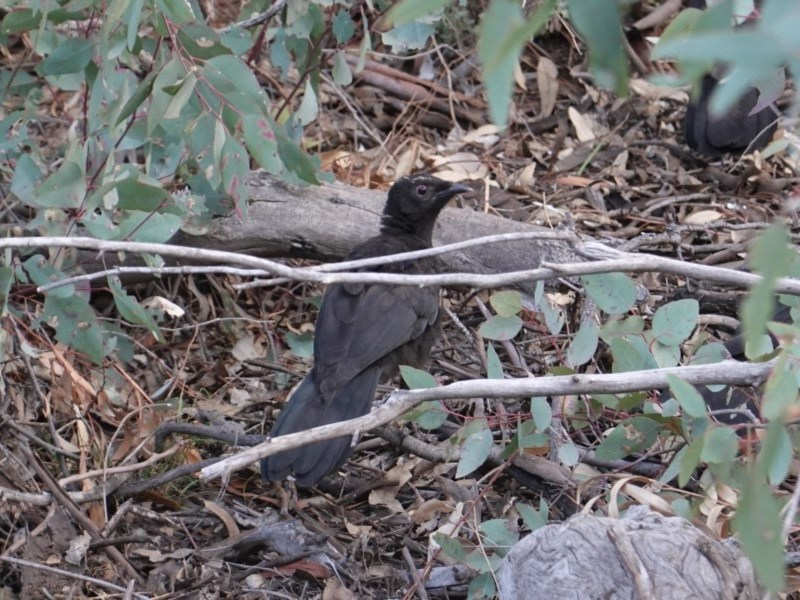 Corcorax melanorhamphos at Red Hill Nature Reserve - 14 Oct 2019