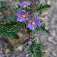 Solanum cinereum (Narrawa Burr) at Red Hill Nature Reserve - 12 Oct 2019 by JackyF