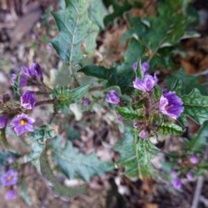 Solanum cinereum at Red Hill Nature Reserve - 8 Oct 2019