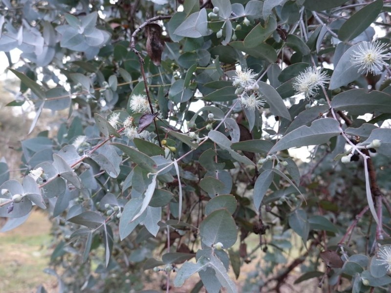 Eucalyptus cinerea subsp. cinerea at Red Hill Nature Reserve - 8 Oct 2019