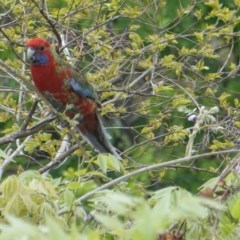 Platycercus elegans (Crimson Rosella) at Hughes, ACT - 16 Oct 2019 by JackyF