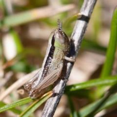 Macrotona australis (Common Macrotona Grasshopper) at Namadgi National Park - 18 Oct 2019 by rawshorty
