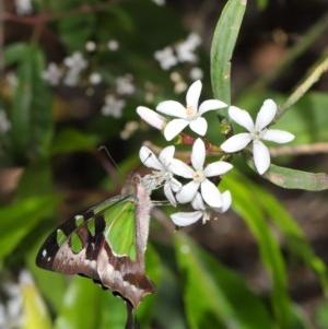Graphium macleayanum at ANBG - 18 Oct 2019