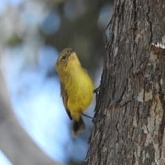 Acanthiza nana (Yellow Thornbill) at Berry, NSW - 18 Oct 2019 by Andrejs