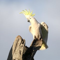 Cacatua galerita (Sulphur-crested Cockatoo) at Mount Ainslie - 27 Aug 2019 by jbromilow50