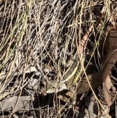 Diporiphora nobbi (Nobbi Dragon) at Molonglo Gorge - 19 Oct 2019 by Manta