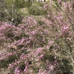 Kunzea parvifolia (Violet kunzea) at Hughes Garran Woodland - 18 Oct 2019 by ruthkerruish