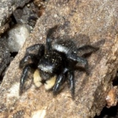 Salticidae sp. 'Golden palps' (TBC) at ANBG - 18 Oct 2019 by JudithRoach