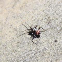 Pentatomidae (family) (Unidentified Shield or Stink bug) at Namadgi National Park - 18 Oct 2019 by Christine