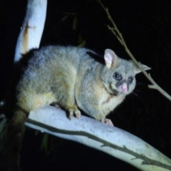 Trichosurus vulpecula (Common Brushtail Possum) at Stirling Park - 19 Oct 2019 by michaelb