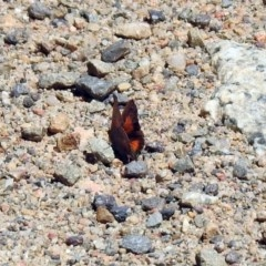 Paralucia aurifer (Bright Copper) at Namadgi National Park - 18 Oct 2019 by RodDeb
