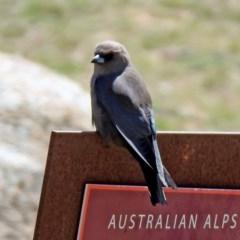 Artamus cyanopterus (Dusky Woodswallow) at Namadgi National Park - 18 Oct 2019 by RodDeb