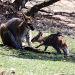 Macropus rufogriseus (Red-necked Wallaby) at Namadgi National Park - 18 Oct 2019 by RodDeb