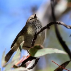 Acanthiza lineata (Striated Thornbill) at Namadgi National Park - 18 Oct 2019 by RodDeb
