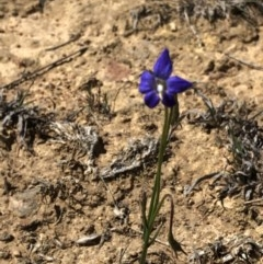 Wahlenbergia sp. (Bluebell) at Hackett, ACT - 20 Oct 2019 by Jubeyjubes