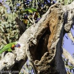 Trichoglossus moluccanus (Rainbow Lorikeet) at Red Hill Nature Reserve - 12 Oct 2019 by BIrdsinCanberra