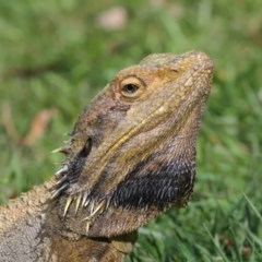Pogona barbata (Eastern Bearded Dragon) at ANBG - 18 Oct 2019 by Tim L