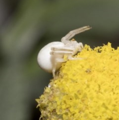 Thomisus spectabilis (Spectacular Crab Spider) at Spence, ACT - 20 Oct 2019 by JudithRoach