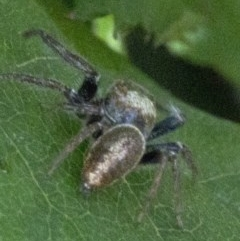 Opisthoncus sp. (genus) (Unidentified Opisthoncus jumping spider) at Spence, ACT - 20 Oct 2019 by JudithRoach