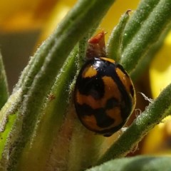 Coelophora inaequalis (Variable Ladybird) at Brogo, NSW - 20 Oct 2019 by JackieMiles