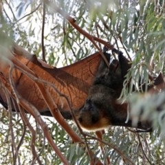 Pteropus poliocephalus (Grey-headed Flying Fox) at Macarthur, ACT - 20 Oct 2019 by RodDeb