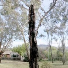 Callocephalon fimbriatum (Gang-gang Cockatoo) at Hughes Garran Woodland - 20 Oct 2019 by ruthkerruish