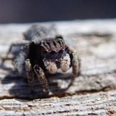 Maratus vespertilio (Bat-like peacock spider) at Lyons, ACT - 19 Oct 2019 by Laserchemisty