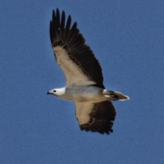 Haliaeetus leucogaster (White-bellied Sea-eagle) at Conjola Bushcare - 20 Oct 2019 by Stewart