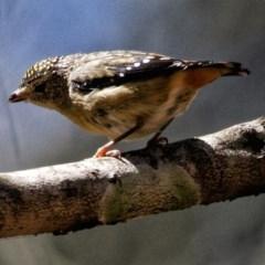 Pardalotus punctatus (Spotted Pardalote) at Conjola Bushcare - 20 Oct 2019 by Stewart