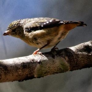Pardalotus punctatus at Conjola Bushcare - 20 Oct 2019