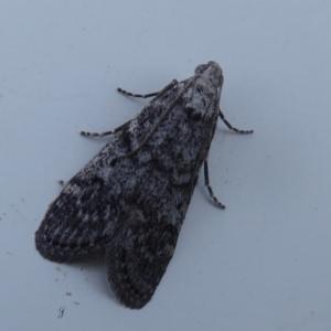 Heteromicta pachytera at Jerrabomberra Wetlands - 20 Oct 2019
