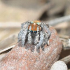 Maratus calcitrans (Kicking peacock spider) at Collector, NSW - 20 Oct 2019 by Harrisi