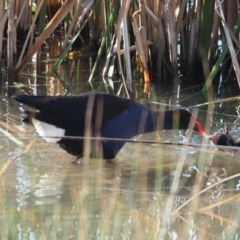 Porphyrio melanotus (Australasian Swamphen) at Belconnen, ACT - 20 Oct 2019 by wombey
