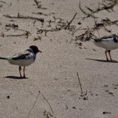 Thinornis rubricollis (Hooded Plover) at suppressed - 20 Oct 2019 by Stewart