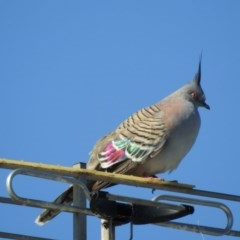 Ocyphaps lophotes (Crested Pigeon) at Berry, NSW - 20 Oct 2019 by Andrejs