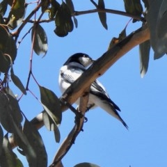 Lalage tricolor (White-winged Triller) at Aranda, ACT - 21 Oct 2019 by KMcCue