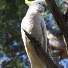 Cacatua galerita (Sulphur-crested Cockatoo) at Red Hill Nature Reserve - 21 Oct 2019 by LisaH