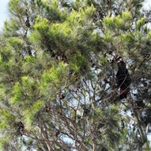 Calyptorhynchus lathami at South Pacific Heathland Reserve - 20 Oct 2019