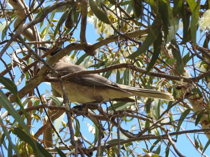 Philemon citreogularis at Jerrabomberra Wetlands - 11 Oct 2019