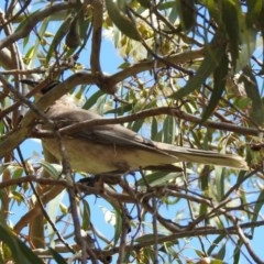 Philemon citreogularis (Little Friarbird) at Jerrabomberra Wetlands - 11 Oct 2019 by RodDeb