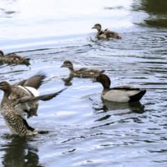Chenonetta jubata (Australian Wood Duck) at Isabella Pond - 14 Oct 2019 by AlisonMilton