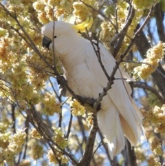 Cacatua galerita (Sulphur-crested Cockatoo) at Point Hut to Tharwa - 9 Oct 2019 by michaelb