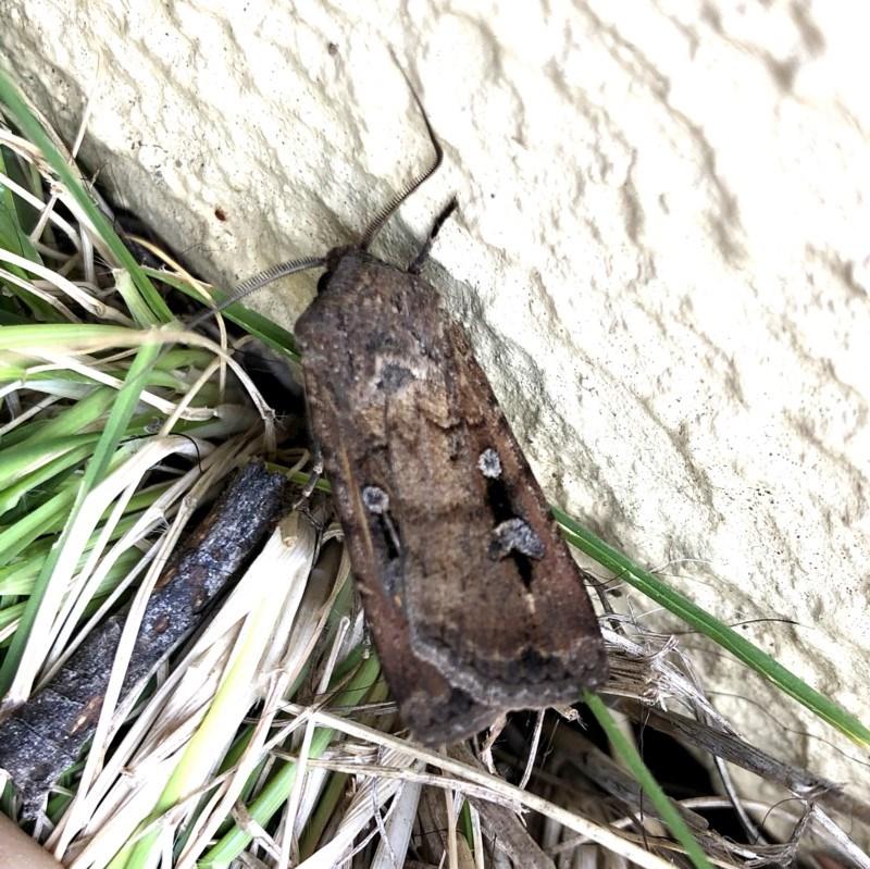 Agrotis infusa at Wandiyali-Environa Conservation Area - 22 Oct 2019