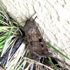 Agrotis infusa (Bogong Moth, Common Cutworm) at Wandiyali-Environa Conservation Area - 21 Oct 2019 by Wandiyali