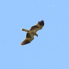 Haliastur sphenurus (Whistling Kite) at Jerrabomberra Wetlands - 21 Oct 2019 by RodDeb