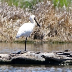 Platalea regia (Royal Spoonbill) at Jerrabomberra Wetlands - 21 Oct 2019 by RodDeb