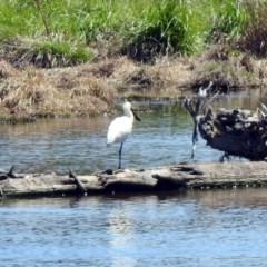 Platalea regia at Jerrabomberra Wetlands - 21 Oct 2019