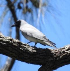 Coracina novaehollandiae (Black-faced Cuckoo-shrike) at Berry, NSW - 22 Oct 2019 by Andrejs