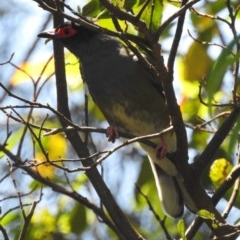 Sphecotheres vieilloti (Australasian Figbird) at Berry, NSW - 22 Oct 2019 by Andrejs